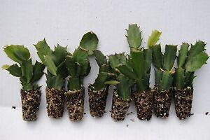 set 10 christmas cactus starter plants 8 named varieties 8