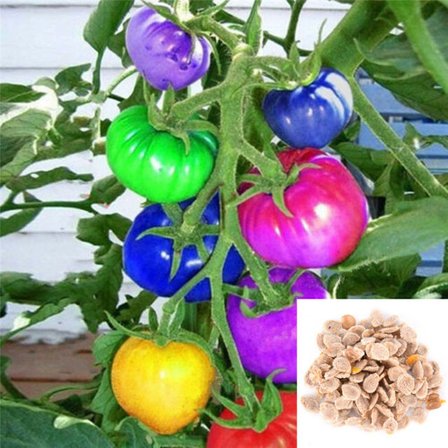 100x Rainbow Tomato Seeds Colorful Bonsai Organic Vegetables Seed Home Garden BX