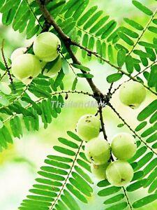 Thai-Phyllanthus-emblica-Phyllanthaceae-10-Seeds-ThailandMrk