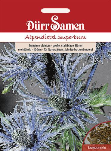 Dürr Alpes Distel superbum bleu pluriannuelle 1422 graines fleurs rocaille