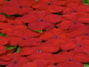 Impatiens-Seeds-Cascade-Beauty-Red-trailing-50-FLOWER-SEEDS