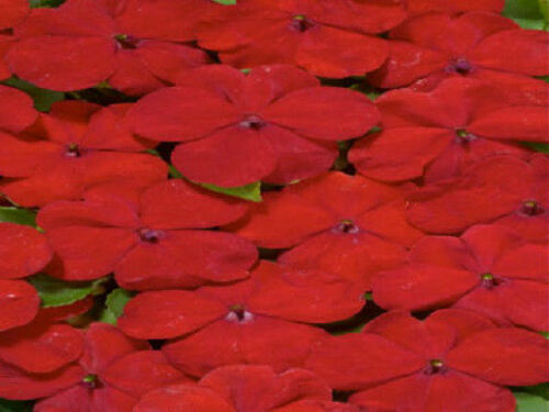 Impatiens Seeds Cascade Beauty Red trailing 50 FLOWER SEEDS