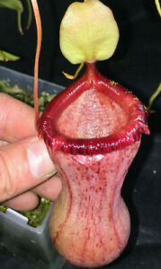 Nepenthes-ventricosa-K-Rooted-Cutting-EP-Female