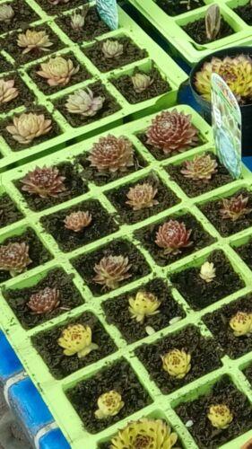 6 Small Sempervivum Succulent  Houseleek Hen /& Chicks Plug Plants fairy garden/'s