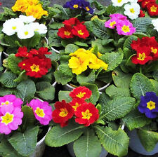 50 Common Primrose Seeds Primula Malacoides Ornamental Garden Flowers