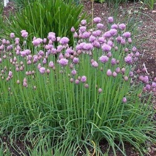 1000 Samen mittelröhriger Schnittlauch – Allium schoenoprasum, ganzjährig