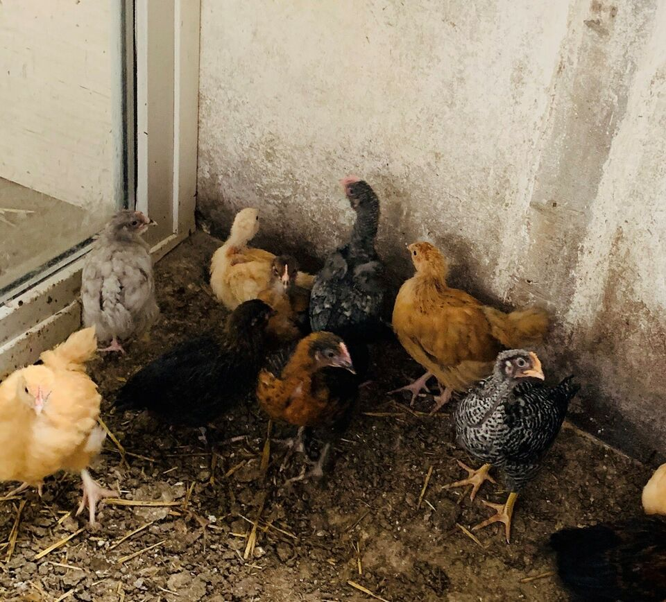 Kyllinger, 18 stk.