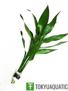 Dracaena Sanderiana Green Stem Semi Aquatic Plant For Tropical