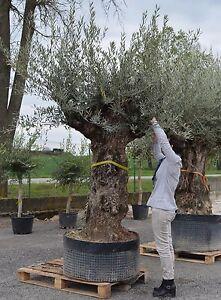 Pianta albero di ulivo olivo bonsai secolare ebay for Alberi in vendita
