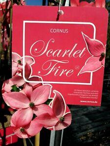 Cornus-kousa-039-Scarlet-Fire-039-80-90cm-roter-pinker-Blumenhartriegel