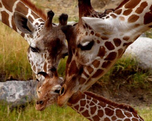 8x10 GLOSSY Photo Picture Image #3 Giraffe Family 8 x 10
