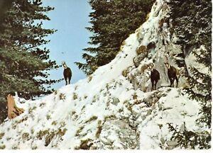 AK-Ansichtskarte-Gemsen-im-Hochgebirge