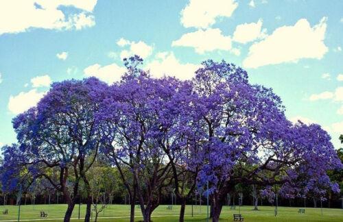 JACARANDA CUSPIDIFOLIA  BLUE rare flowering tree flamboyan delonix seed 50 seeds