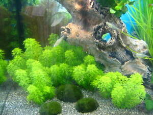 2-Bunde-Bluetenstielloser-Sumpffreund-Limnophila-sessiliflora-f-Aquarium