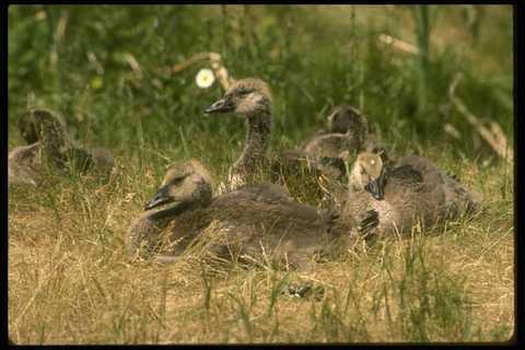 008105 Canada Goslings A4 Photo Print Aromatischer Geschmack