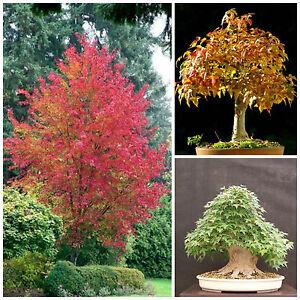 10 Semillas Acer Buergerianum Trident Maple árbol Semillas Bonsai