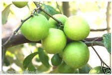 20 SEED JUJUBE ZIZIPHUS JUJUBA CHINESE DATE FRUIT TREE BONSAI HARVEST
