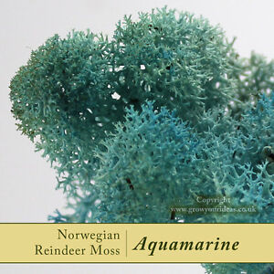 Dried-Reindeer-Moss-Aquamarine-Perfect-for-air-plants-terrariums-amp-Crafts