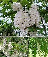 Jetzt pflanzen ! Robinie blühende winterharte Bäume für draußen Heckenpflanzen