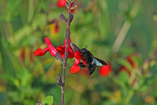 Red Flowers Bee Friendly Salvia /'Royal Bumble/' Sage Royal Bumble in 2L Pot