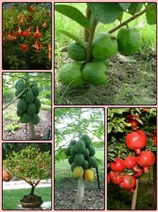 Dwarf Fruit Seeds Combo Pack: Dwarf Guava,Pomegranate,Papaya Seeds,Free Shipping