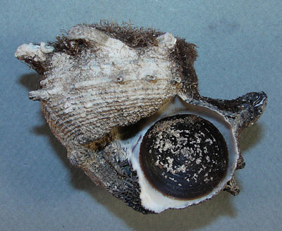 Western Australia Cheap Sales 50% Angaria Delphinus 64.84mm Beautiful Specimen Exmouth Other Rocks, Fossils, Minerals