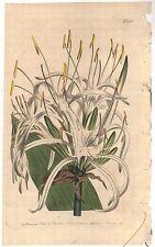 1805 Curtis Botanical Print Pancratium Caribaeum  #826 West Indian Flower