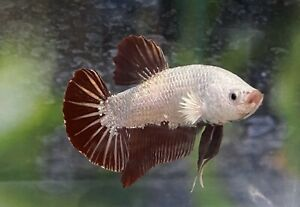 Live Betta Fish-Dragon (White Red Male )HalfMoon Plakat |