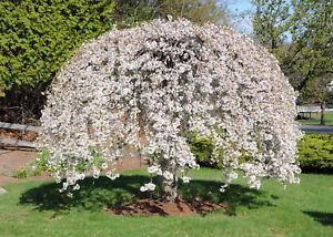 10 Dwarf White Weeping Cherry Tree Seeds Decorative Ornamental Landscape Plant Ebay