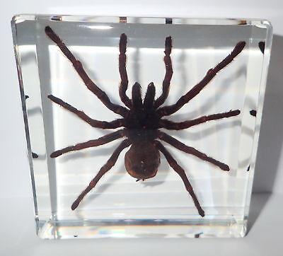 Small Brown Javan Tarantula Eurypelma spinicrus Fangs Exposed Spider