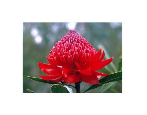 5x Telopea speciosissima Waratah rot rosa Garten Pflanzen Samen B338