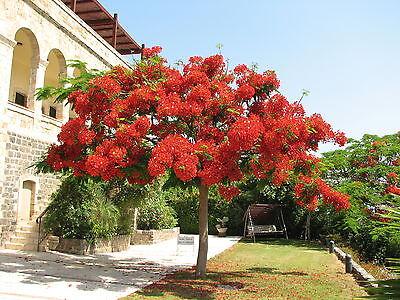 5 graines  FLAMBOYANT ROYAL G159 FLAME TREE SEEDS SAMEN SEMILLAS Delonix Regia