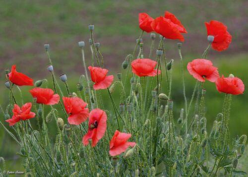 Papaver Rhoeas, 21000 Samen - Übliche,Acker-Hundskamille Feld Rote Mohnblume