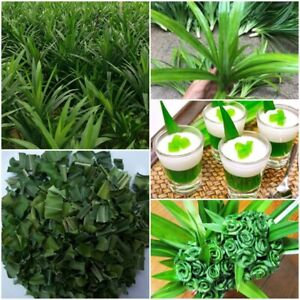 2-live-Pandan-Fragrant-Rhizome-Leaves-Amaryllifolius-Rooted-live-Plant-Seedlings