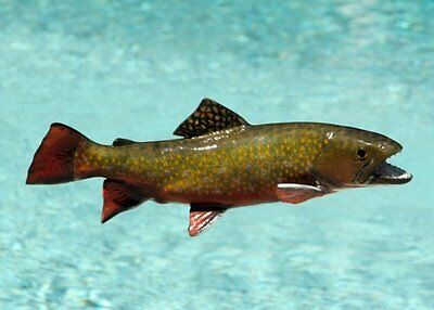 "Giant Taxidermy 16"" Fiberglass Brook Trout Fish Mount"