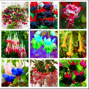 100 PCS Seeds Purple Double Petals Fuchsia Bonsai Potted Flowers Garden Home New