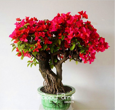 100 PCS Seeds Red Bougainvillea Spectabilis Perennial Bonsai Flowers 2019 Rare N