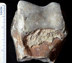 Subhyracodon-Humerus-Distal-Fossil-Rhinoceros-Badlands-South-Dakota-R643