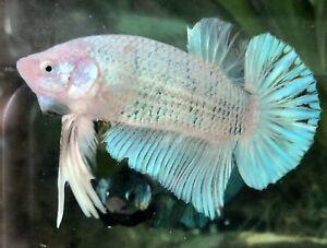 "betta fish giant jr blue marble (size 2""BO)"