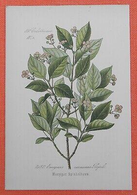 Radient Warziger Spindelbaum Spillbaum Spindelstrauch Lithographie 1885