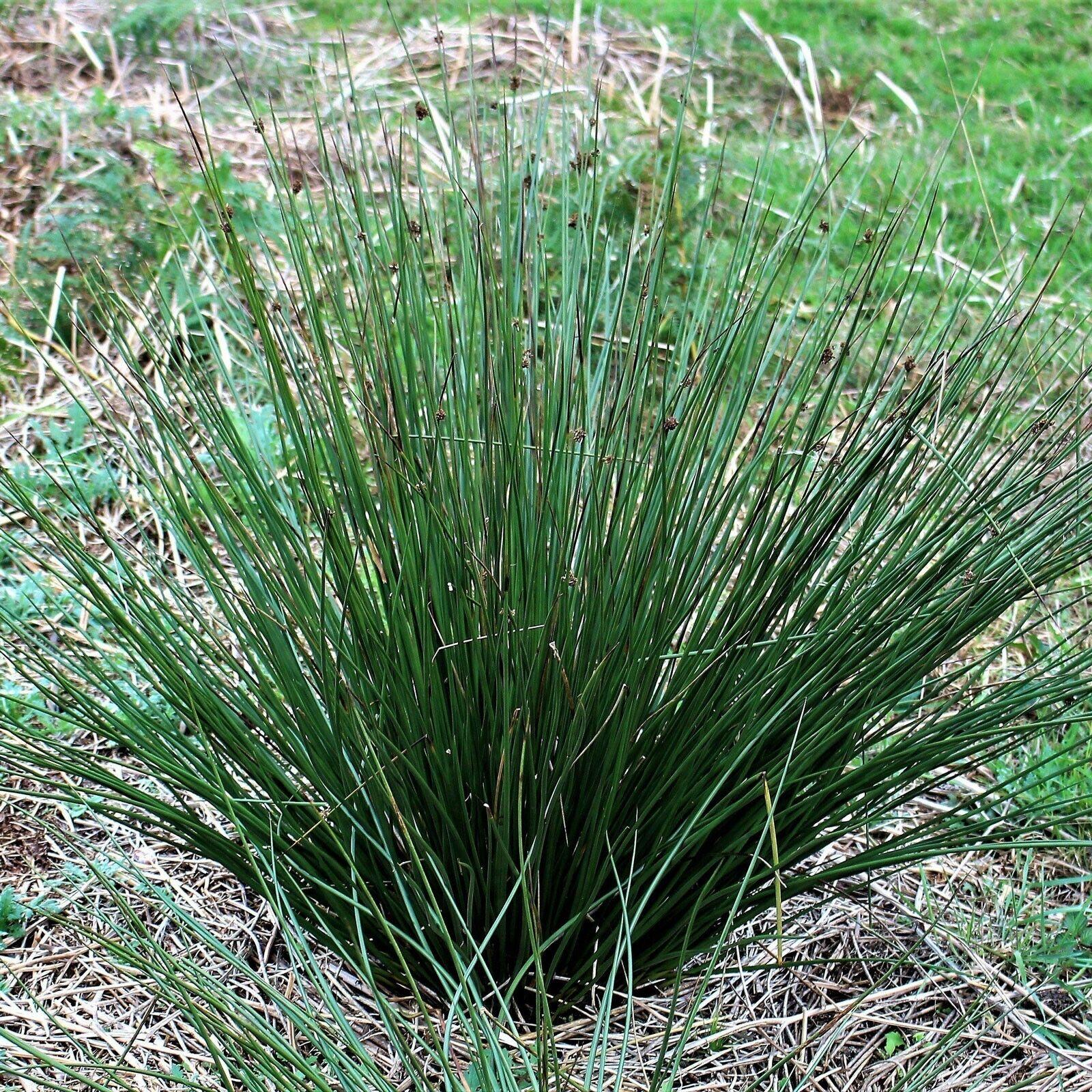 Juncus effusus | Soft & Common & Lamp & Pacific Rush | 100_Seeds