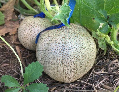Little Potato concombre//cucumber//pepino//gurke 20 graines//semillas//seeds//samen
