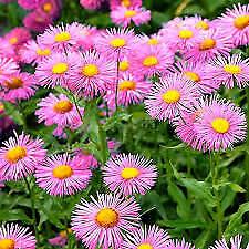 USA Erigeron Pink 100-1600 seeds