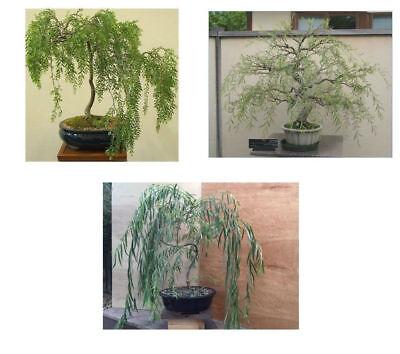 3 Bonsai Weeping Australian Dragon Willow Corscrew Live Tree Large Thick Trunk 689310839311 Ebay