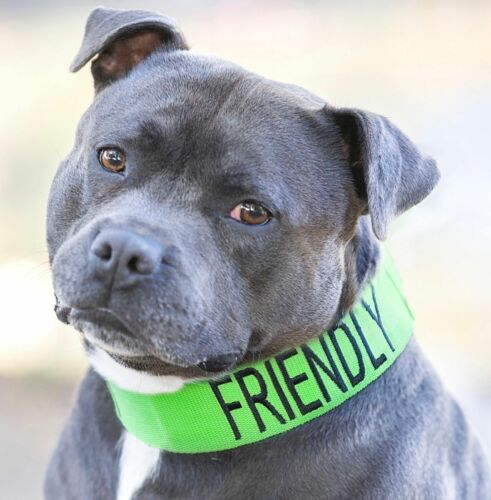Color Coded FRIENDLY Semi Choke Dog Collar Pit Bull Terrier Mastiff Rottweiler