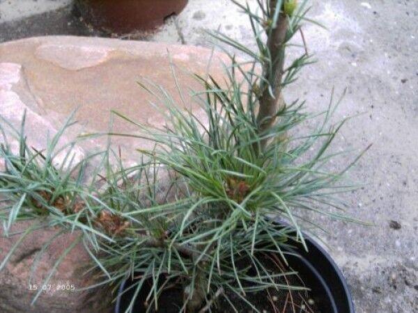 Pinus monticola Undulata - Westliche Weißkiefer