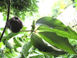 3-Bulb-Dioscorea-pentaphylla-L-local-seasonal-fruits-of-Thailand-Thai-herbs