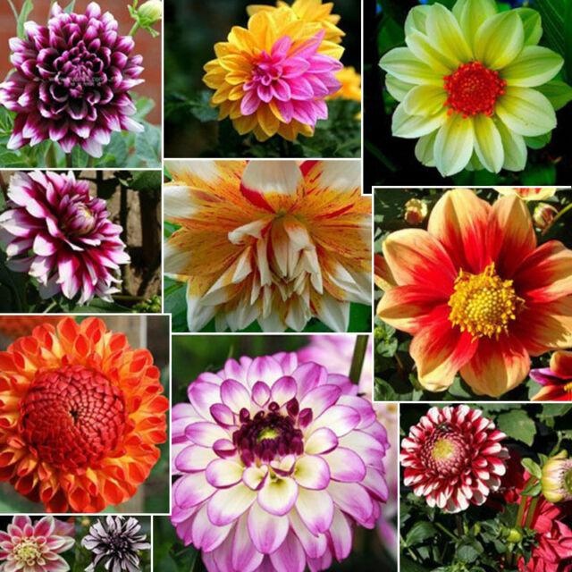 30x Colorful Dahlia Large Bloom Flower Bulbs Perennials Plant seeds Garden I9N6