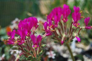 Pelargonium incrassatum.flower size.tamaño de floracion.