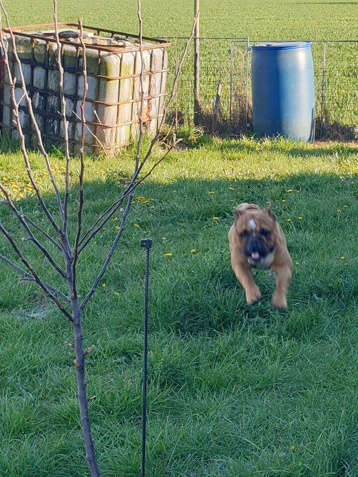 Engelsk Bulldog med DKK tavle, hund, 3 år